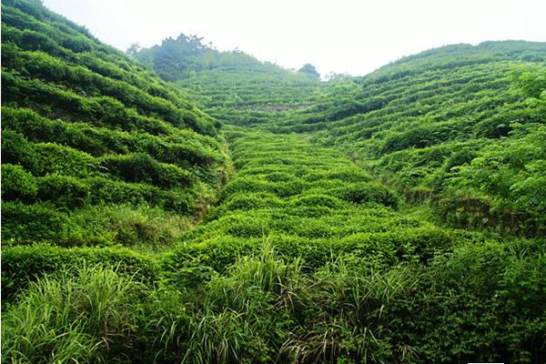 """茶山竹海特色 是不是茶山竹海的精华就是长满茶的山、连成海的竹呢?确是如此,茶山、竹海都是具有消费利益,能够给游客带来物质和精神上的满足。但茶山竹海的精华又不是如此,在具备的功能属性日渐趋同的背景下,""""山和海只是旅游产品,还不是茶山竹海的精华,山和海只能是茶山竹海的形,那么茶山竹海的精华是什么?它的神是什么?茶山竹海的神,茶山竹海的精华应当是这山和海的情趣,游客停留山和海之间所享受到的身心放松和精神愉悦。 注意事项 1、事先要制定时间、路线、膳宿的具体计划和带好导游图、有关地"""